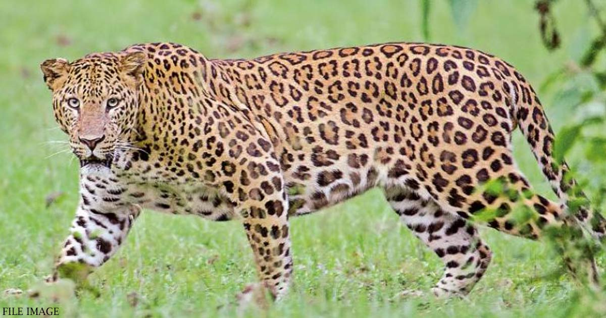http://www.meranews.in/backend/main_imgs/Leopard_another-leopard-believed-to-be-lurking-around-gandhinagar-pug-marks-found_0.jpg
